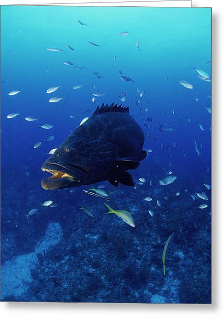 Grouper Greeting Cards - Grouper Greeting Card by Alexis Rosenfeld