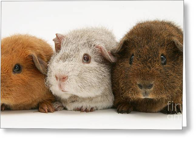 Domesticated Animal Greeting Cards - Guinea Pigs Greeting Card by Jane Burton