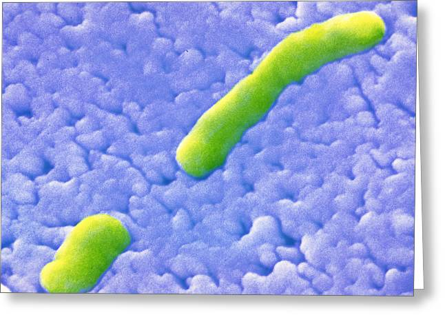 Microbiology Greeting Cards - Haemophilus Influenzae Bacteria Greeting Card by Cnri