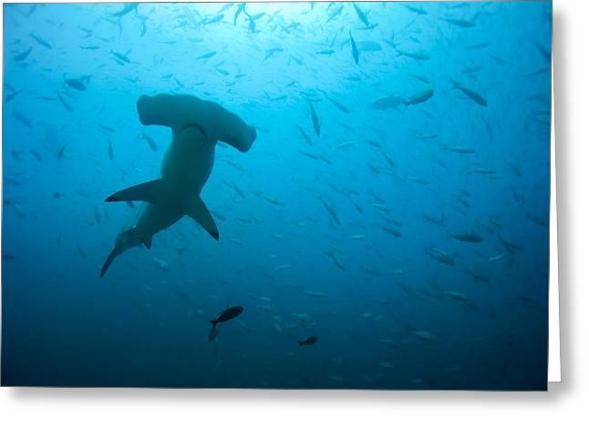 Hammerhead Sharks Greeting Cards - Hammerhead Shark Greeting Card by Peter Scoones