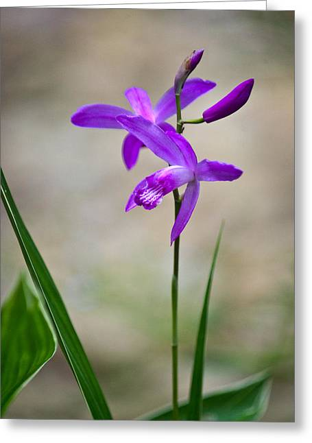 Orchidaceae Greeting Cards - Hardy Orchid 3 Greeting Card by Douglas Barnett