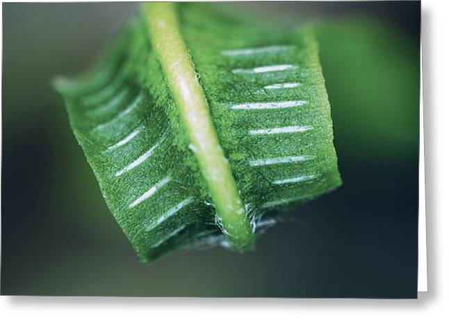 Hart's Tongue Fern Unfurling Greeting Card by Colin Varndell