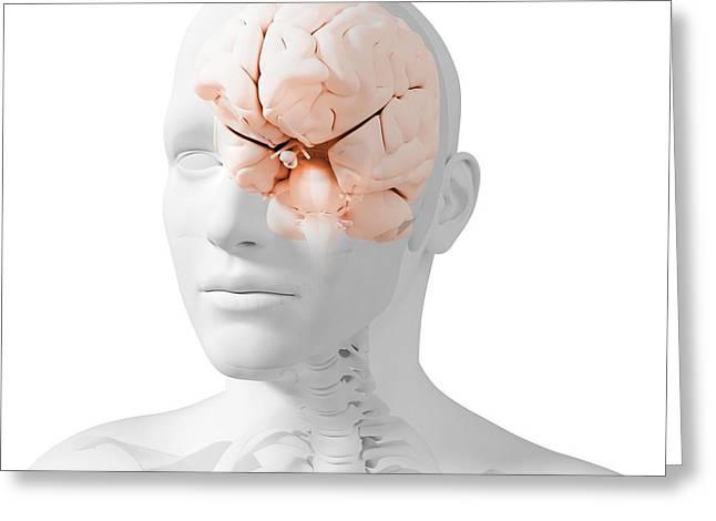 Human Health Greeting Cards - Head Anatomy, Artwork Greeting Card by Sciepro