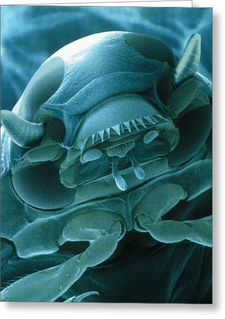 Whirligig Greeting Cards - Head Of A Whirligig Beetle, Sem Greeting Card by Power And Syred