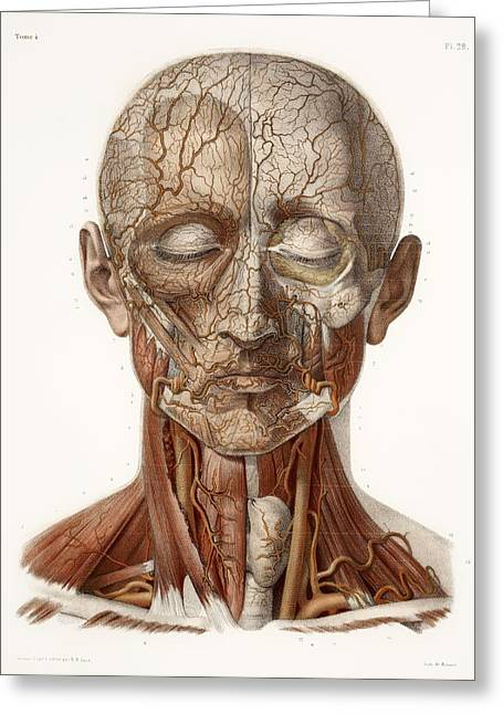 Vol Greeting Cards - Head Vascular Anatomy, Historical Artwork Greeting Card by