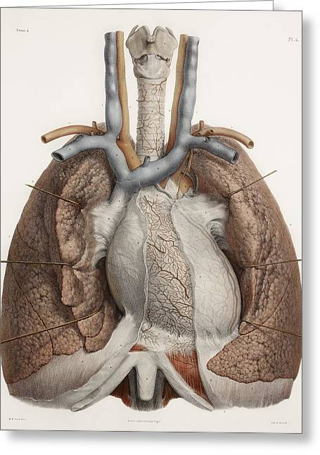 Vol Greeting Cards - Heart And Lungs, Historical Illustration Greeting Card by