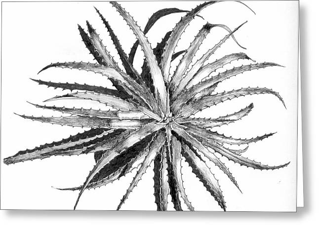 Bromeliad Drawings Greeting Cards - Hechtia argentea Greeting Card by Penrith Goff