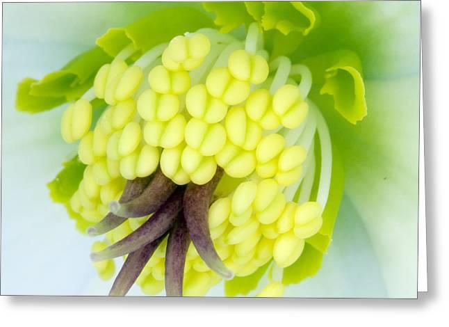 Carpels Greeting Cards - Hellebore Flower (helleborus Sp.) Greeting Card by Lawrence Lawry