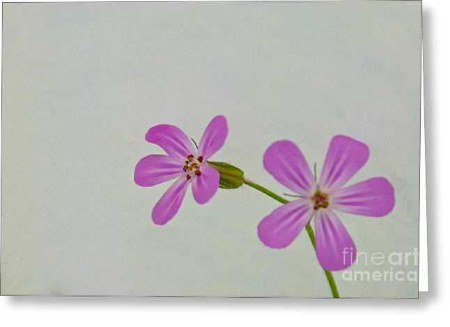 Herb Robert Greeting Card by Sean Griffin