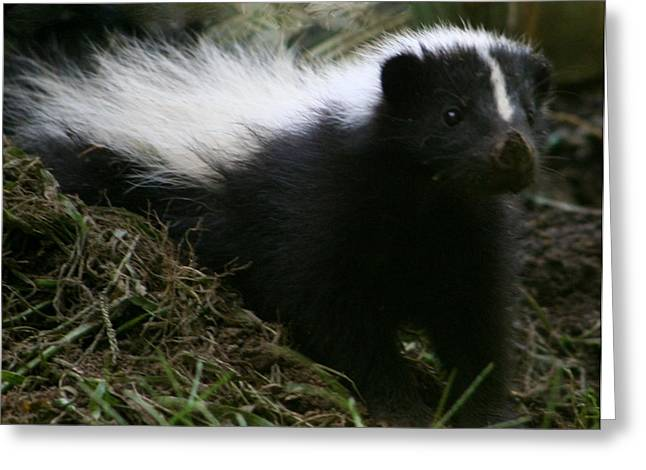 Baby Skunk Greeting Cards - Here Kitty Kitty Greeting Card by Barbara S Nickerson