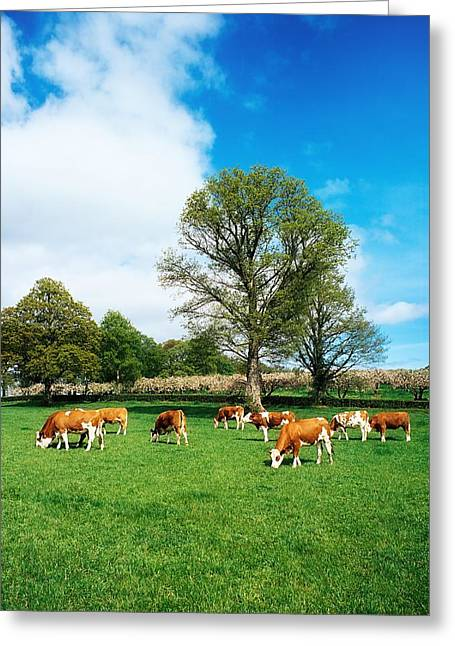 Fed Greeting Cards - Hereford Bullocks Greeting Card by The Irish Image Collection