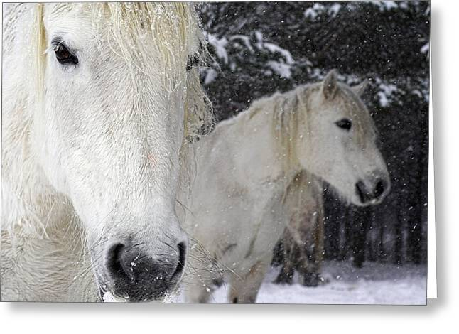 Equus Caballus Greeting Cards - Highland Ponies Greeting Card by Duncan Shaw