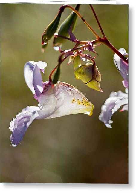 Impatiens Greeting Cards - Himalayan Balsam (impatiens Glandulifera) Greeting Card by Dr Keith Wheeler
