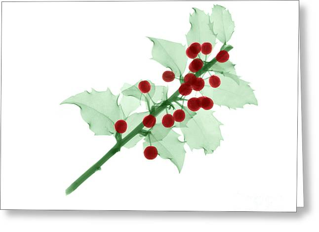 Holly Berry Still Life Greeting Cards - Holly Greeting Card by Ted Kinsman