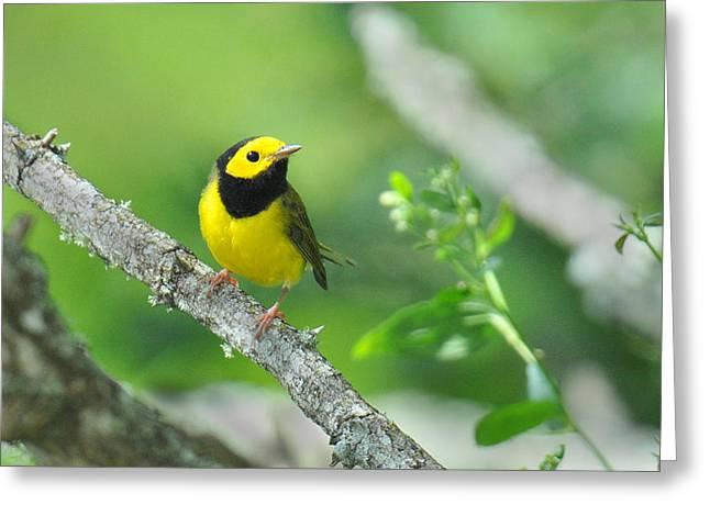 Wood Warbler Greeting Cards - Hooded Warbler Greeting Card by Alan Lenk