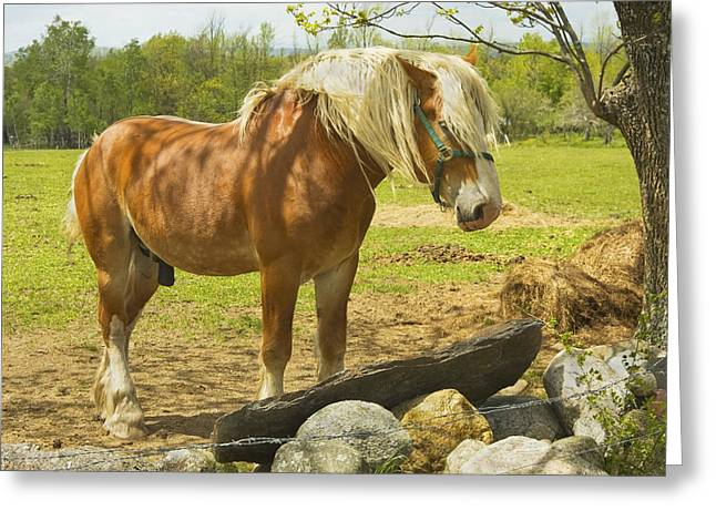 Spring In Maine Photographs Greeting Cards - Horse Near Strone Wall In Field Spring Maine Greeting Card by Keith Webber Jr