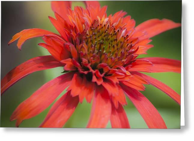 Ruffled Petals Greeting Cards - Hot Papaya Coneflower Squared Greeting Card by Teresa Mucha
