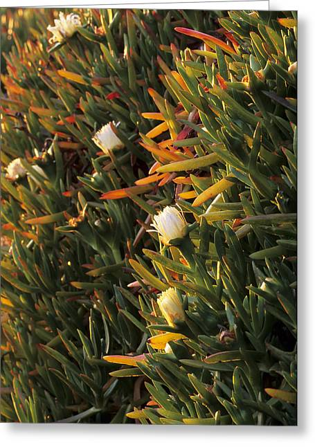 Sour Greeting Cards - Hottentot Fig (carpobrotus Edulis) Greeting Card by Adrian Bicker