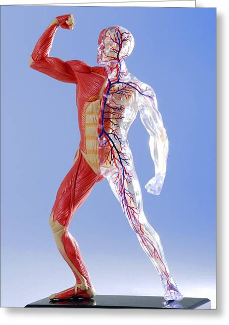 Pecs Greeting Cards - Human Body, Anatomical Model Greeting Card by Cordelia Molloy
