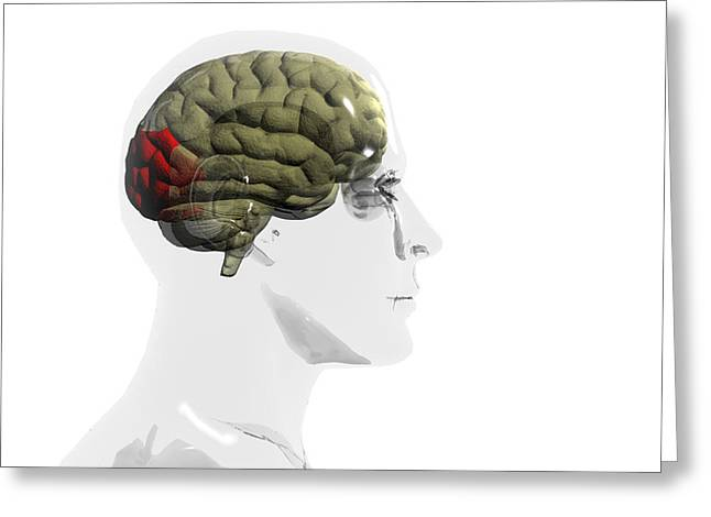 Body Awareness Greeting Cards - Human Brain, Occipital Lobe Greeting Card by Christian Darkin