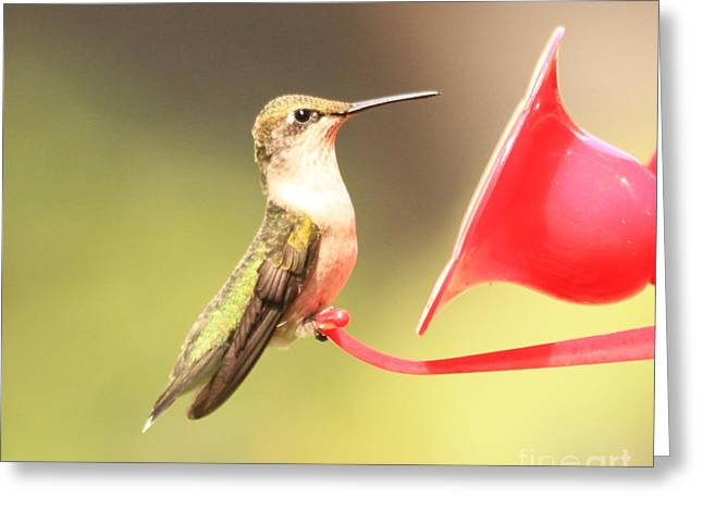 Krista Greeting Cards - Hummingbird Greeting Card by Krista Kulas