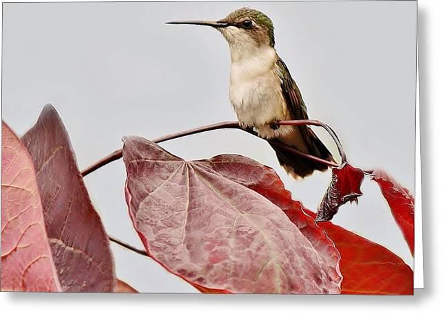 Hummingbird Greeting Card by Paulette Thomas