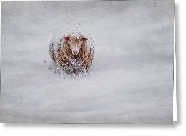 Sheep Photographs Greeting Cards - Icing on the Cape Greeting Card by Robin-lee Vieira