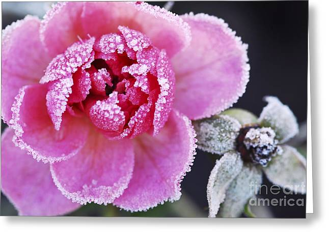 Red Flowers Greeting Cards - Icy rose Greeting Card by Elena Elisseeva
