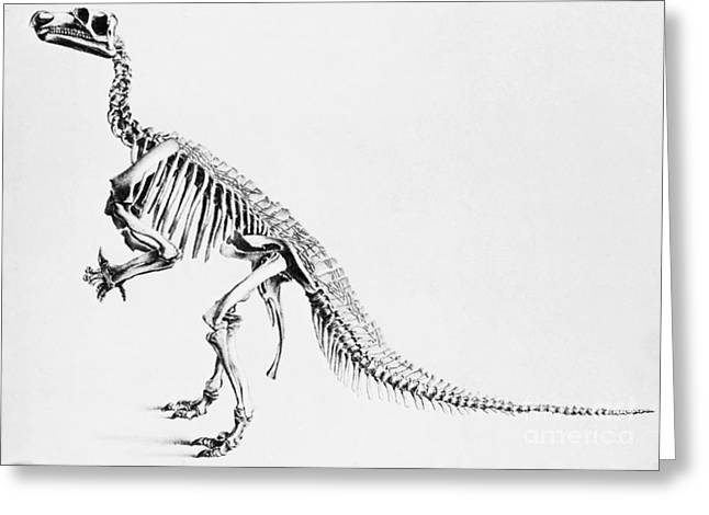 Bipedal Greeting Cards - Iguanodon, Mesozoic Dinosaur Greeting Card by Science Source