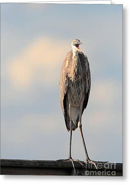 Immature Greeting Cards - Immature Great Blue Heron sticks toungue out Greeting Card by Matt Suess