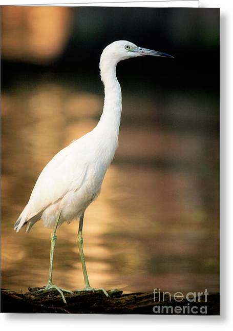 Immature Greeting Cards - Immature Little Blue Heron Greeting Card by Matt Suess