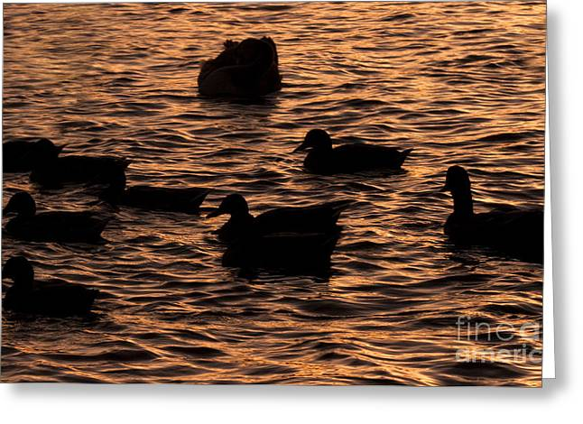 Ducklings Greeting Cards - In The Liquid Gold Greeting Card by Angel  Tarantella