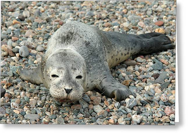 Ocean Mammals Greeting Cards - Injured Harbor Seal Greeting Card by Ted Kinsman