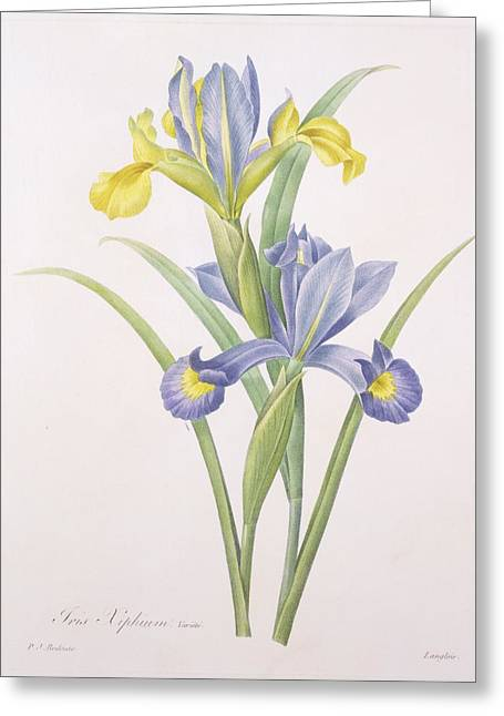 Best Sellers -  - Coloured Greeting Cards - Iris xiphium Greeting Card by Pierre Joseph Redoute