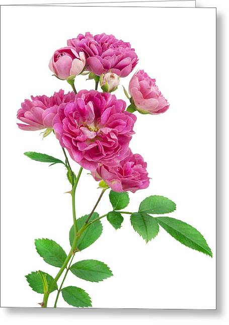 Blooms Greeting Cards - Isolated lonely pink rose Greeting Card by Aleksandr Volkov