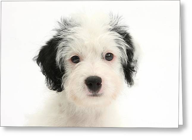 Poo Greeting Cards - Jack-a-poo Puppy Greeting Card by Mark Taylor