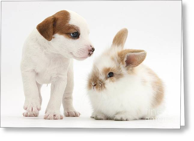 House Pet Greeting Cards - Jack Russell Terrier Puppy And Baby Greeting Card by Mark Taylor
