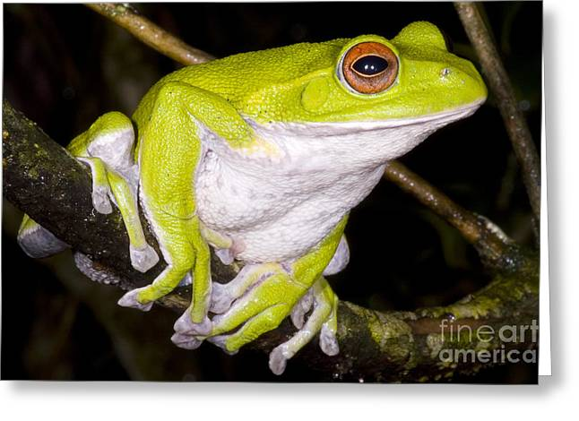 Japanese Rhacophoprid Frog Greeting Card by Dante Fenolio