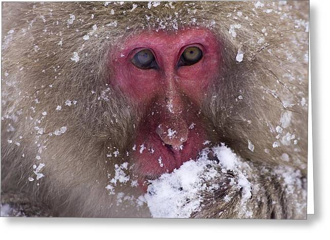 Sit-ins Photographs Greeting Cards - Japanese Snow Monkey Greeting Card by Natural Selection Anita Weiner