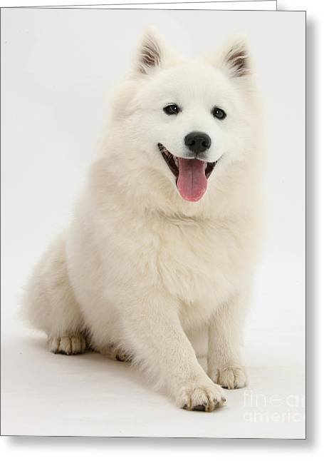 Japanese Puppy Greeting Cards - Japanese Spitz Dog Greeting Card by Mark Taylor