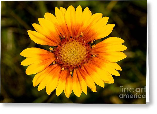Brown Eye Susan Greeting Cards - Jasper - Brown-eyed Susan Wildflower 2 Greeting Card by Terry Elniski