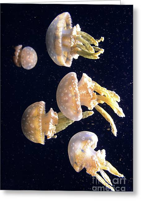 Snorkelling Greeting Cards - Jellyfish 3 Greeting Card by Bob Christopher