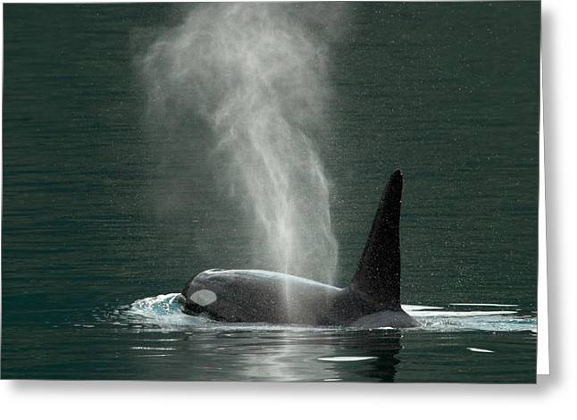 Killer Whale Greeting Cards - Killer Whale In Johnstone Strait Greeting Card by Ralph Lee Hopkins