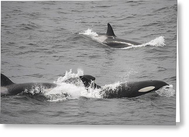Emergence Greeting Cards - Killer Whales Orcinus Orca In Paradise Greeting Card by Keenpress