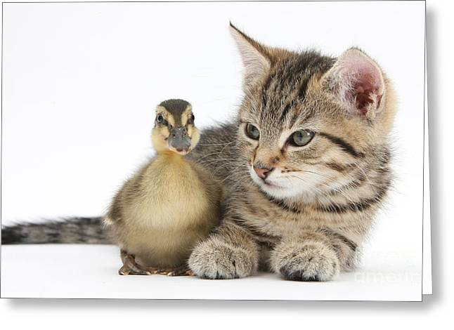Mallard Ducklings Greeting Cards - Kitten And Duckling Greeting Card by Mark Taylor