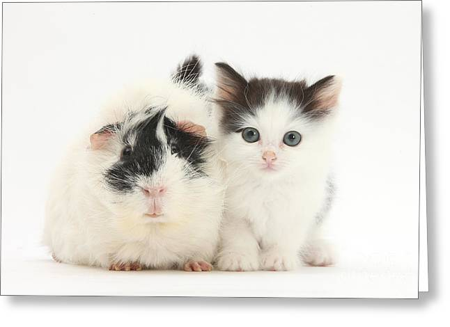 Cavy Greeting Cards - Kitten And Guinea Pig Greeting Card by Mark Taylor