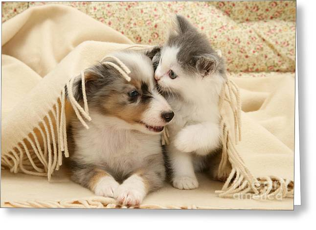 Birman Greeting Cards - Kitten And Pup Greeting Card by Jane Burton