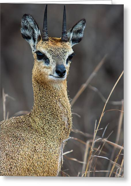 South Africa Greeting Cards - Klipspringer Portrait Greeting Card by Hein Welman