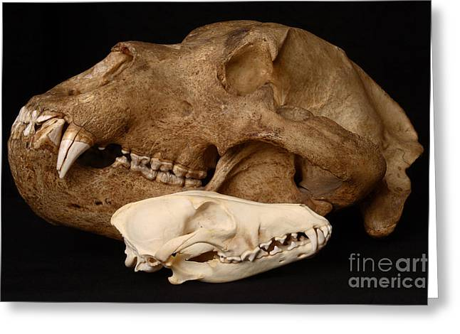 Kodiak Island Greeting Cards - Kodiak Bear Skull With Coyote Skull Greeting Card by Ted Kinsman
