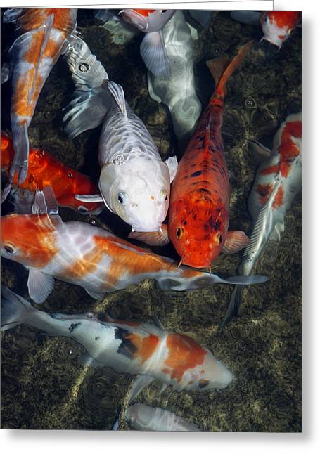 Southeast Asian Greeting Cards - Koi Carp In A Pond Greeting Card by Georgette Douwma